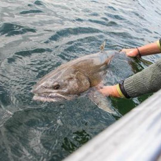 giant lake trout catch and release